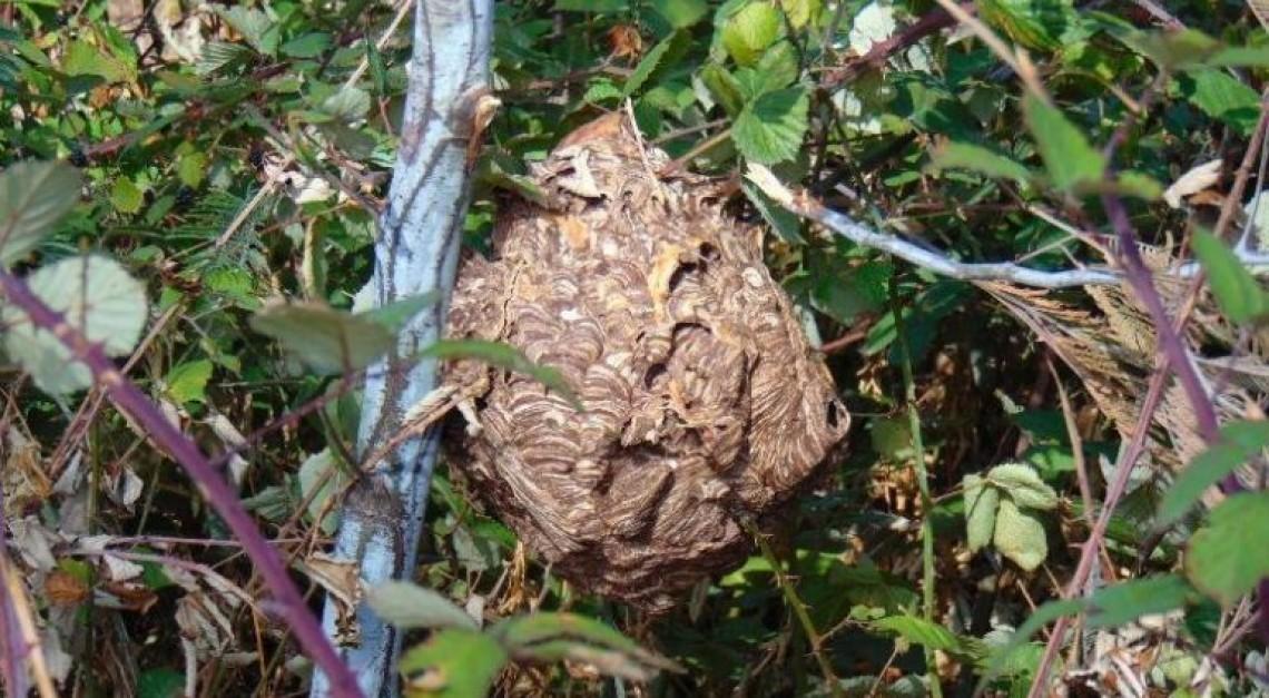 Avistou um ninho de vespas 'asiáticas'? Saiba como proceder